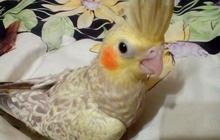 Продам птенцов попугая корелла 1, 5мес