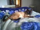 Просмотреть изображение Вязка кошек ищем тайскую кошечку для вязки 69703570 в Архангельске