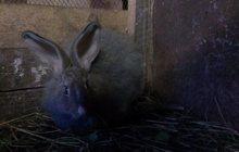Продам пуховых кроликов