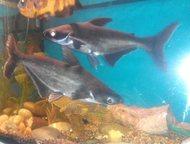 Продам пангасиус акулий сом Продам двух рыбок пангасиус 45 и 35 см. Здоровые, Ми