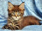 Изображение в Кошки и котята Продажа кошек и котят Предлагается к резервированию котенок мейн-кун в Барнауле 0