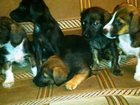 Фотография в Собаки и щенки Продажа собак, щенков Отдам щенков таксы в хорошие руки в Барнауле 1