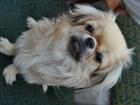 Смотреть фотографию Вязка собак вязка собак 38492609 в Барнауле