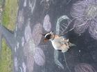 Увидеть изображение Вязка собак той терьер мальчик ищет девочку нам три года, 39410297 в Барнауле