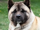 Увидеть фотографию Вязка собак Ищем невесту для американской акиты 68532493 в Барнауле