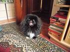 Скачать фото Вязка собак Ищем девочку пекинеса для вязки 66490493 в Белгороде