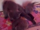 Фото в   Продаются котята британские вислоухие рождение в Березниках 4000