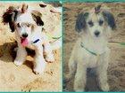 Фотография в Собаки и щенки Вязка собак Девочка китайская хохлатая возраст- 2 года в Биробиджане 0