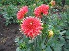 Фото в Домашние животные Растения Продаю рассаду георгинов. Продукция выращивается в Благовещенске 150