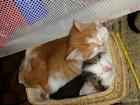Фото в Кошки и котята Продажа кошек и котят отдам котят в добрые заботливые руки. едят в Благовещенске 50