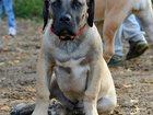 Фотография в Собаки и щенки Продажа собак, щенков Щенки Южноафриканского Бурбуля,   Рыжего в Москве 0
