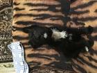 Фотография в Собаки и щенки Продажа собак, щенков Отдам щенка черного терьера, метиса, девочку, в Брянске 0