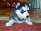 Фотки и картинки Сибирский хаски смотреть в Брянске