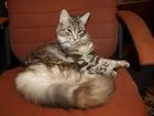Смотреть фото Вязка кошек Молодая кошечка Мейн-Кун ищет хорошего жениха, 68090071 в Брянске