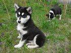 Фотография в Собаки и щенки Продажа собак, щенков Продаю щенков Сибирской хаски и русско европейской в Буинске 4000
