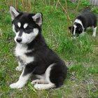 Продаю щенков Сибирской хаски и русско-европейской лайки