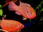 Новое фотографию Аквариумные рыбки Продам аквариумных рыбок, хромис красавец 59460268 в Челябинске