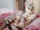 Смотреть изображение  Бенгалец ищет кошечку для первой встрече у себя дома 68010043 в Челябинске