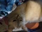 Свежее изображение Вязка кошек Нужен мужчина для симпатичной кошечки 68130085 в Челябинске