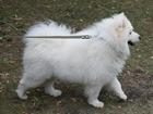 Новое фото Вязка собак Кобели самоедской собаки (лайки) для вязки 70495342 в Челябинске