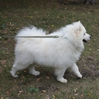 Кобели самоедской собаки (лайки) для вязки