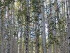 Лес берёзовый на корню