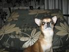 Скачать бесплатно foto Вязка собак Кобель чихуа-хуа приглашает на вязку, 34770337 в Дмитрове