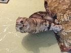 Изображение в   Шотландский вислоухий котик ищет невесту в Москве 3000