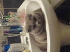 Изображение в Кошки и котята Вязка Красивый парень Британец веслоухий ищет себе в Домодедово 0