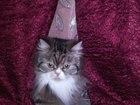 Скачать foto  Персидская кошечка ищет жениха!Срочно! 38601604 в Саяногорске