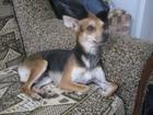 Свежее фотографию Вязка собак Кобель Русский Той-терьер, для вязки 34670928 в Джанкой