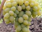 Скачать бесплатно фото Разное Чубуки(черенки) винограда почтой, 37881110 в Ейске