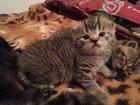 Изображение в Кошки и котята Продажа кошек и котят Котята шотландские, все вислоухие, забирать в Екатеринбурге 5000