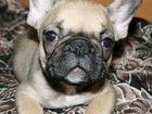 Изображение в Собаки и щенки Продажа собак, щенков Продам щенка французского бульдога.   Мальчик, в Екатеринбурге 0
