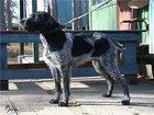 Изображение в Собаки и щенки Продажа собак, щенков Продаются щенки дратхаара!   Щенки дратхаара в Екатеринбурге 18000