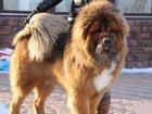 Фото в Собаки и щенки Продажа собак, щенков продаются щенки тибетского мастифа от титулованных в Екатеринбурге 0