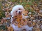 Изображение в Собаки и щенки Вязка собак Ищу жениха для девочки Бишона, не для выставок в Екатеринбурге 0