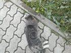 Фото в Потерянные и Найденные Найденные Найдена кошка г. Екатеринбург. Найдена кошка. в Екатеринбурге 0
