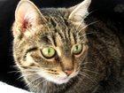 Изображение в   Отдам в добрые руки умную кошку-мышеловку. в Екатеринбурге 0