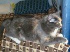 Фото в Кошки и котята Вязка Красивая и умная кошечка ищет доброго милого в Екатеринбурге 0