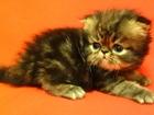 Фотография в Кошки и котята Продажа кошек и котят Персидский котенок, экстримал, мальчик,  в Екатеринбурге 10000