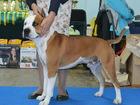 Фото в Собаки и щенки Вязка собак Американский стаффордширский терьер 3 лет в Екатеринбурге 0
