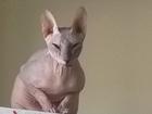 Изображение в Потерянные и Найденные Найденные Потерялась кошка, порода Донской сфинкс, в Екатеринбурге 2000