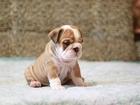Изображение в Собаки и щенки Продажа собак, щенков Предлагаются щенки английского бульдога. в Екатеринбурге 0