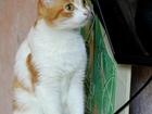 Фото в   Отдается в добрые руки рыже-белая кошка Тея. в Екатеринбурге 0