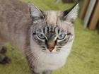 Изображение в Потерянные и Найденные Найденные В районе улицы Коуровская потеряна кошка. в Екатеринбурге 0
