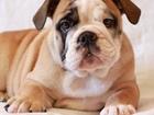 Изображение в Собаки и щенки Продажа собак, щенков Продается девочка английского бульдога. У в Екатеринбурге 0