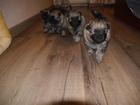 Фотография в Собаки и щенки Продажа собак, щенков Предлагаются к продаже очаровательные щенки в Екатеринбурге 25000