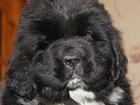 Фотография в Собаки и щенки Продажа собак, щенков Прекрасный Друг для всей семьи. Кобели и в Екатеринбурге 0