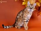 Фотография в Кошки и котята Вязка МЕГА СНИЖЕНА ЦЕНА на вязку с шикарным бенгальским в Екатеринбурге 0